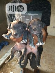 Baby Male Purebred Boerboel | Dogs & Puppies for sale in Lagos State, Ikotun/Igando