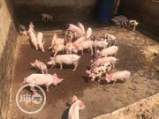 Weaners For Sale (2 Months Plus) | Other Animals for sale in Lagos State, Ikeja