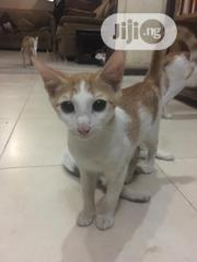 Young Male Purebred | Cats & Kittens for sale in Lagos State, Ifako-Ijaiye