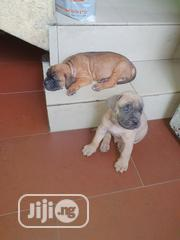 Baby Male Purebred Bullmastiff | Dogs & Puppies for sale in Rivers State, Port-Harcourt