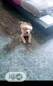 Baby Male Purebred Labrador Retriever | Dogs & Puppies for sale in Lagos State, Ipaja