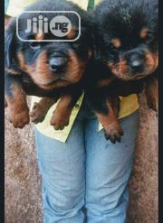 Baby Male Purebred Rottweiler | Dogs & Puppies for sale in Lagos State, Kosofe