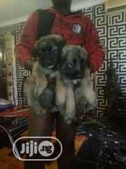 Baby Male Purebred Caucasian Shepherd Dog | Dogs & Puppies for sale in Lagos State, Kosofe