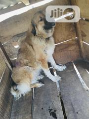Adult Female Purebred Caucasian Shepherd Dog | Dogs & Puppies for sale in Ondo State, Akure