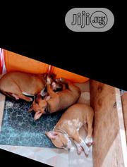 Baby Female Purebred American Pit Bull Terrier | Dogs & Puppies for sale in Lagos State, Ilupeju