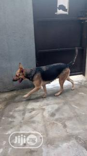 Adult Female Purebred German Shepherd Dog | Dogs & Puppies for sale in Lagos State, Agboyi/Ketu