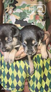 Baby Male Purebred Rottweiler | Dogs & Puppies for sale in Lagos State, Lagos Island