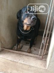 Adult Female Purebred Rottweiler | Dogs & Puppies for sale in Lagos State, Ipaja