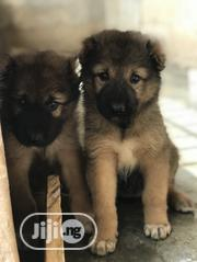 Baby Male Purebred Caucasian Shepherd Dog | Dogs & Puppies for sale in Oyo State, Ido