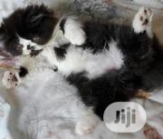 Young Male Purebred Persian | Cats & Kittens for sale in Lagos State, Lekki Phase 2