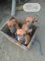 Baby Male Purebred Boerboel | Dogs & Puppies for sale in Lagos State, Lagos Mainland