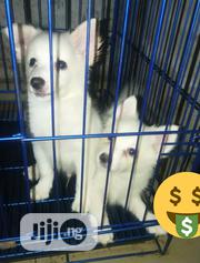 Baby Female Purebred American Eskimo Dog | Dogs & Puppies for sale in Lagos State, Lagos Mainland