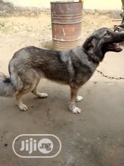 Adult Female Mixed Breed Caucasian Shepherd Dog | Dogs & Puppies for sale in Rivers State, Oyigbo