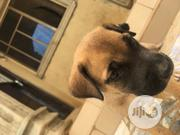 Young Male Purebred Boerboel | Dogs & Puppies for sale in Lagos State, Ipaja
