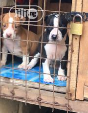 Young Female Purebred American Pit Bull Terrier | Dogs & Puppies for sale in Lagos State, Alimosho