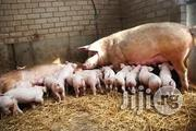 Piggery Manual   Books & Games for sale in Abuja (FCT) State, Lugbe