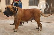 Adult Female Purebred Boerboel | Dogs & Puppies for sale in Imo State, Owerri