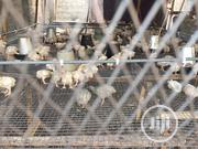 Two Weeks Old Broiler For Easter | Livestock & Poultry for sale in Ogun State, Ado-Odo/Ota