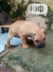 Baby Male Purebred Bulldog | Dogs & Puppies for sale in Abuja (FCT) State, Wuse 2
