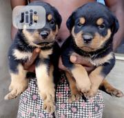 Young Male Purebred Rottweiler | Dogs & Puppies for sale in Ondo State, Akure