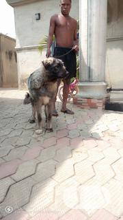 Young Female Purebred Caucasian Shepherd Dog | Dogs & Puppies for sale in Oyo State, Ibadan