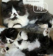 Baby Male Purebred Persian | Cats & Kittens for sale in Lagos State, Lagos Mainland