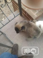 Baby Female Purebred Caucasian Shepherd Dog | Dogs & Puppies for sale in Oyo State, Lagelu