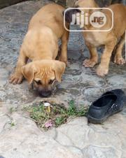 Baby Female Purebred Boerboel | Dogs & Puppies for sale in Ekiti State, Ado Ekiti