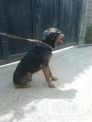 Adult Male Purebred Rottweiler | Dogs & Puppies for sale in Nasarawa State, Karu-Nasarawa