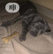 Baby Female Purebred Neapolitan Mastiff | Dogs & Puppies for sale in Oyo State, Ibadan