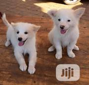 Young Male Purebred Samoyed | Dogs & Puppies for sale in Abuja (FCT) State, Gwarinpa