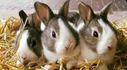 Rabbits For Sale | Livestock & Poultry for sale in Lagos State, Lagos Mainland