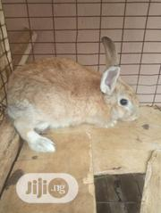 Female Rabbit | Livestock & Poultry for sale in Lagos State, Agege