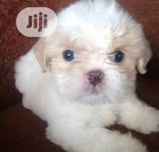 Baby Female Purebred Lhasa Apso | Dogs & Puppies for sale in Abuja (FCT) State, Maitama
