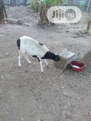 Mature Sheep For Sale | Other Animals for sale in Oyo State, Akinyele