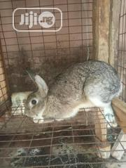 Male Rabbit | Livestock & Poultry for sale in Lagos State, Agege