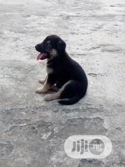 Young Female Purebred German Shepherd Dog | Dogs & Puppies for sale in Ogun State, Ado-Odo/Ota
