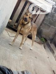 German Shepherd For Mating | Pet Services for sale in Ondo State, Akure