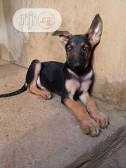 Young Male Purebred German Shepherd Dog | Dogs & Puppies for sale in Lagos State, Lagos Mainland