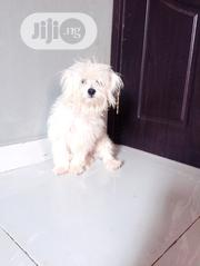 Senior Male Purebred Lhasa Apso | Dogs & Puppies for sale in Lagos State, Ipaja