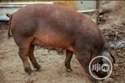 Duroc Hybrids Pigs For Sale | Livestock & Poultry for sale in Rivers State, Port-Harcourt