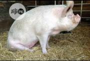 Large White Pigs For Sale | Livestock & Poultry for sale in Cross River State, Calabar