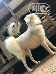 Adult Female Purebred American Eskimo Dog | Dogs & Puppies for sale in Oyo State, Ibadan