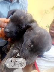 Baby Female Mixed Breed Cane Corso | Dogs & Puppies for sale in Rivers State, Port-Harcourt
