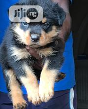 Young Male Purebred Rottweiler | Dogs & Puppies for sale in Ogun State, Ogun Waterside