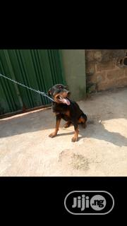 Adult Male Purebred Rottweiler | Dogs & Puppies for sale in Oyo State, Ibadan