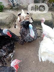 Mature Turkeys For Sale | Livestock & Poultry for sale in Lagos State, Ibeju