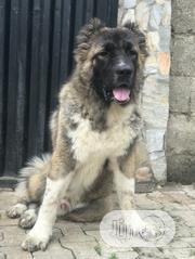 Adult Male Purebred Caucasian Shepherd Dog | Dogs & Puppies for sale in Oyo State, Ido