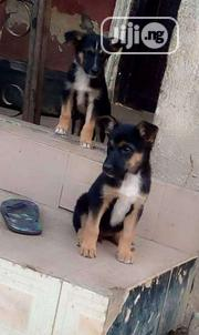 Young Female Purebred German Shepherd Dog | Dogs & Puppies for sale in Ekiti State, Ado Ekiti