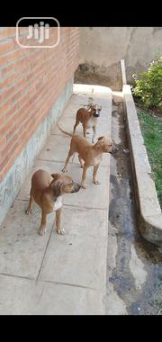 Baby Male Purebred American Pit Bull Terrier | Dogs & Puppies for sale in Oyo State, Ibadan